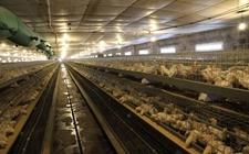 <b>怎样做好大中型鸡场的建设和运营?大中型鸡场建设和运营方法介绍</b>