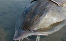 三渔民奋战一小时捕获千斤大鳇鱼 被20万元高价收购