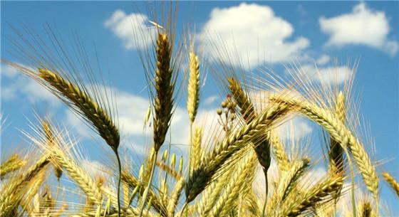 政府为大米小麦兜底 制定最低收购价格执行方案