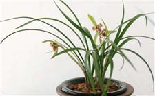 兰花缺肥的表现有哪些?兰花补肥方法
