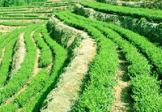丹山翠云茶属于什么茶?