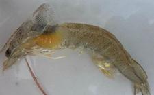 小龙虾常见综合疾病预防及症状