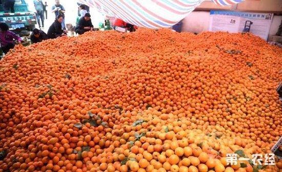 河南洛阳连续阴雨天气致60万斤杏子滞销