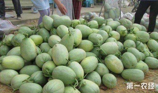 香瓜陷滞销困境:果农低价卖不掉 城里超市价格高