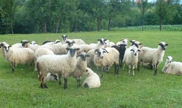 夏日酷暑,羊群要注意预防日射病和热射病