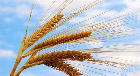 我国攻破小麦育种又一难关 新品种小麦平均节水30%