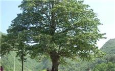 安徽省潜山县发现三株罕见香果树 为我国二级保护植物