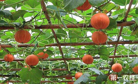 南瓜怎么种?南瓜高产管理种植技术