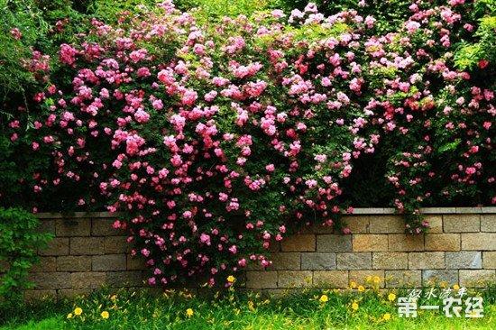 蔷薇花怎么养