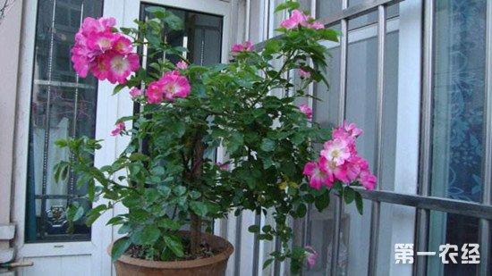 蔷薇花的生长习性和养殖注意事项