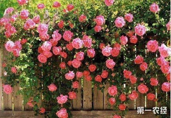 蔷薇花怎么养?蔷薇花的生长习性和养殖注意事项