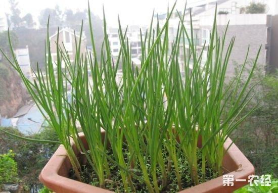 小香葱种植方法