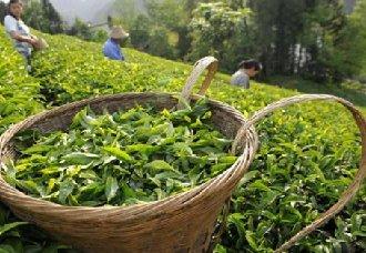怎么采摘茶叶?茶摘茶叶的注意事项