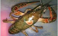 小龙虾疾病预防及处理方法手册,请收好
