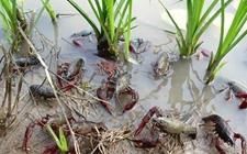 小龙虾养殖成本为何越来越高?会算帐你就比别人赚的多