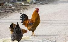 <b>怎样养殖优质土鸡?饲养优质放养土鸡五要点</b>