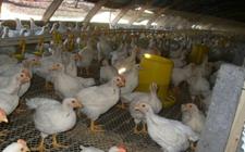 <b>冬季养鸡怎样做好温度控制?肉鸡冬季养殖温度控制方法有哪些?</b>