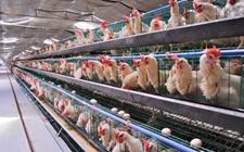 冬季应该怎样饲养蛋鸡?冬季蛋鸡管理方法有哪些?