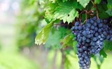 2018年印度葡萄大幅度减产 产业收益率骤降40-50%