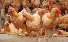 <b>2018年5月24日最新养鸡价格行情怎样?速来围观!</b>