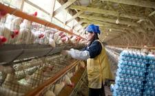 <b>日本养鸡业发展得这么好,看看他们对鸡做了什么?</b>