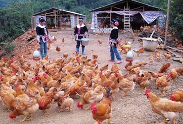 农户应该如何正确养鸡?农户养鸡应避免的十个问题