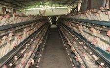 蛋鸡养殖多长时间淘汰?产蛋鸡淘汰时间