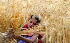 印度小麦进口税将调整 或从20%调高到40%