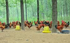 <b>怎样养好肉鸡?掌握三技巧养好肉鸡</b>