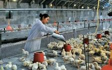 肉鸡养殖技术:肉鸡饮水投药和拌料投药方法