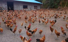 <b>怎样进行散养鸡管理?农村散养鸡管理重点</b>