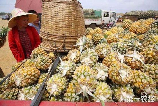 为何徐闻县菠萝价格低到几毛钱一斤还滞销?