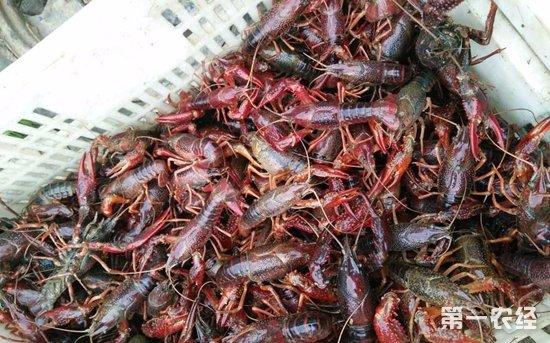 江苏小龙虾供需两旺 量大价跌价格明显回落