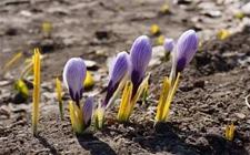 藏红花的常见病虫害有哪些?藏红花病虫害的防治