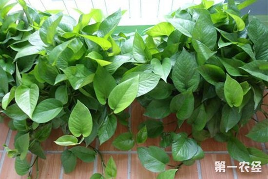 绿萝盆栽怎么养叶子不发黄,长得大还油绿发亮?