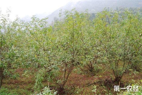 花椒树怎么种?花椒树种植管理技术介绍