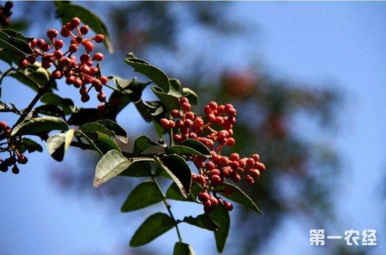 花椒树怎么过冬?花椒树过冬防寒的方法