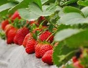 安徽特产:长丰草莓