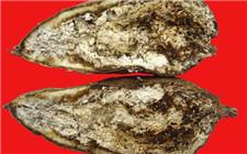 红薯茎线虫病怎么防治?红薯茎线虫病防治两大要点