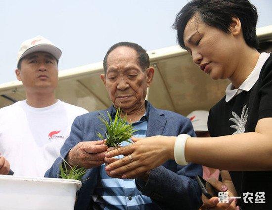 五个海水稻基地同时插秧