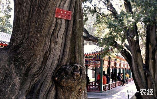 """天津超百年古树已登记2500株 新""""身份牌""""助力古树保护"""