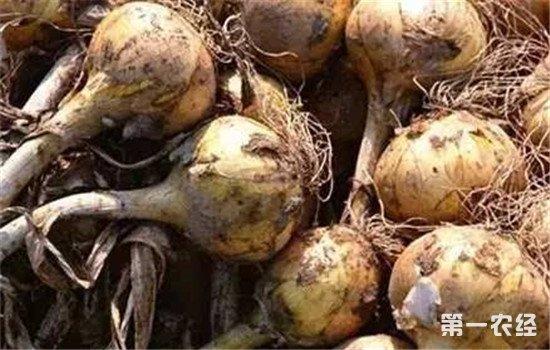 洋葱根部腐烂怎么治?洋葱腐烂的原因及防治方法