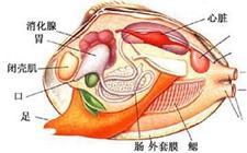 河蚌的内部结构如何?它是如何进食的?