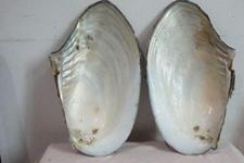 <b>河蚌蚌壳的组成成分,有哪些作用?</b>