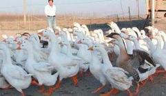 吴炳生开养鹅合作社发展农闲经济和村民一起致富