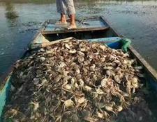 易引发河蟹死亡的五种情况,要加强防控