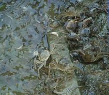 <b>河蟹投喂有哪些注意事项?做好科学投喂的重要性</b>