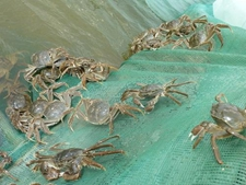 河蟹生病跟哪些因素有关?你有遇到过么?