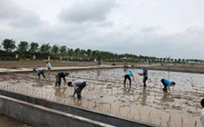 近日袁隆平团队在六大试验基地同时插秧试种青岛海水稻