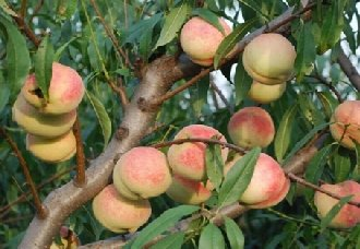 桃树要怎么人工授粉?桃树人工授粉的方法和注意事项